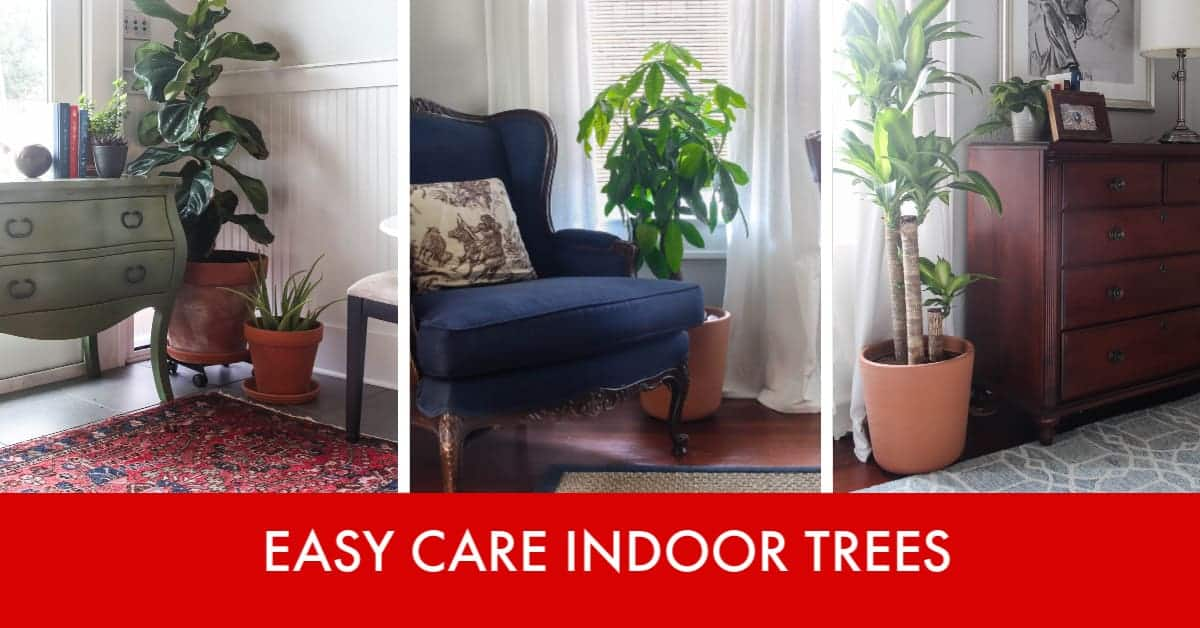 3 Low Cost, Low Maintenance Indoor Trees