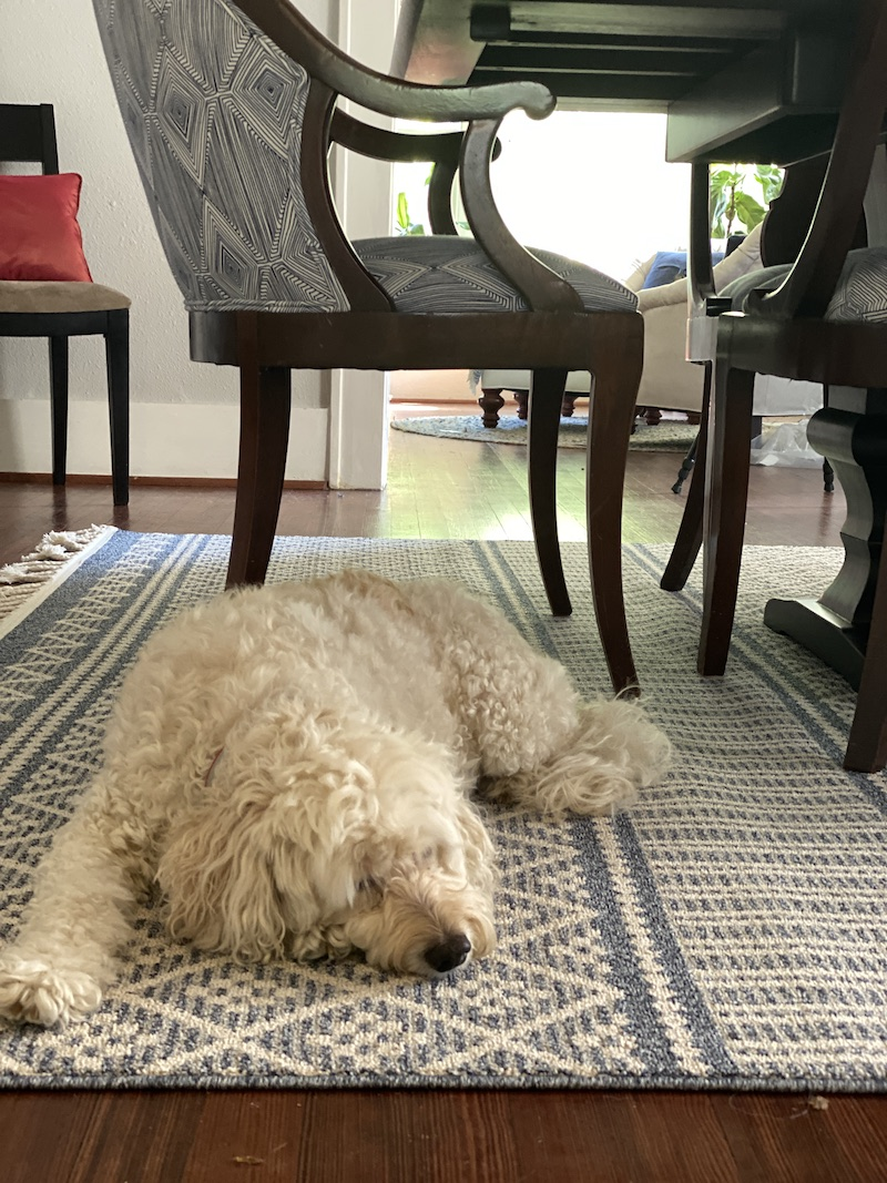 Lucy on the dining room rug