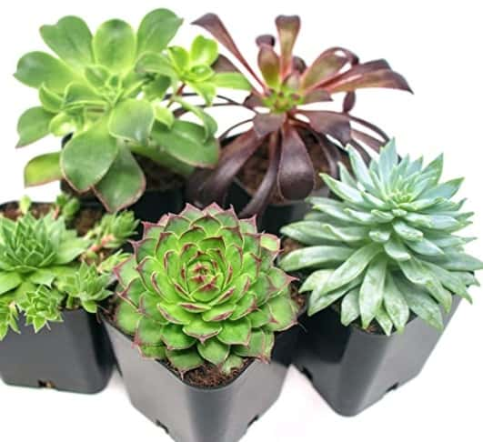 succulents for gifts
